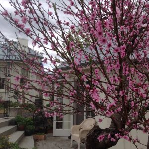Tasmanian Spring Getaway heralded by peach blossoms.